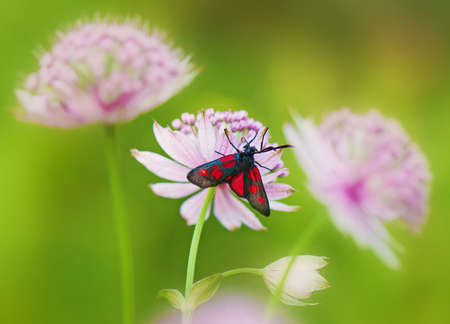 zygaena: (Zygaenidae), Zygaena lonicerae. Stock Photo