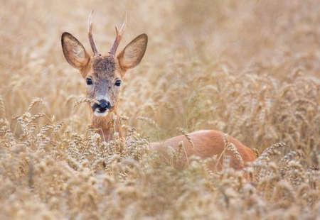 Roe deer (Capreolus capreolus). Stock Photo