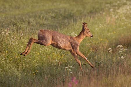 Roe deer (Capreolus capreolus). 写真素材