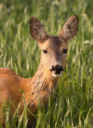 Roe deer (Capreolus capreolus). Фото со стока