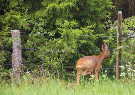 Roe deer (Capreolus capreolus) . On the way to retreat through the fence wire rope.