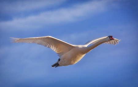 cygnus olor: Mute swan (Cygnus olor) adult.