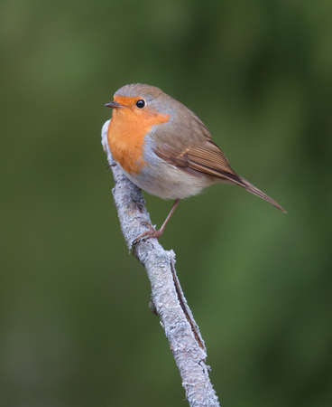 erithacus rubecula: Robin, A sweet and very popular little bird