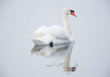 Mute swan (Cygnus olor) adult.