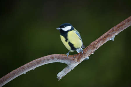 Parus major (Great tit). Stock Photo