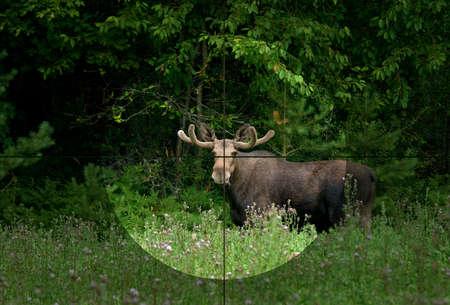 Moose bull in the rifles focus. (Alces alces).