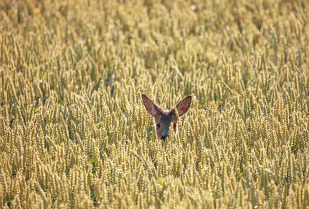 Roe deer (Capreolus capreolus). Hidden in the cornfield. 版權商用圖片