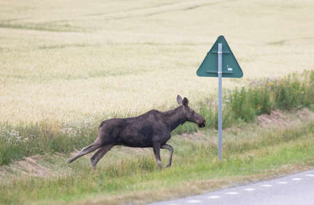 Moose on the way to cross a road. Stock Photo