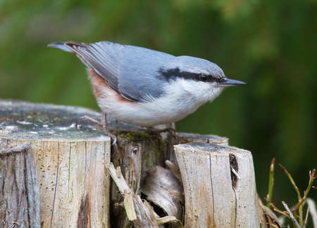 Eurasian nuthatch (Sitta europaea).  Stock Photo