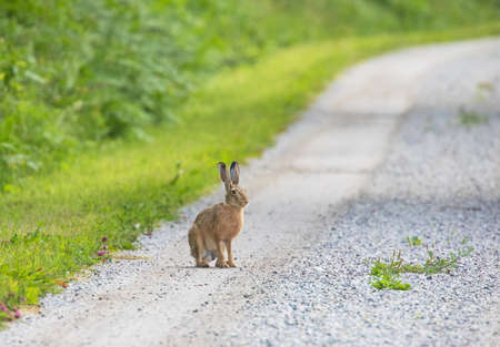 Hare sitting on a dirt road. Stok Fotoğraf