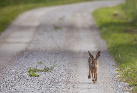 Hare running on a gravel road.