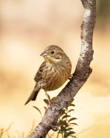 Yellowhammer, (Emberiza citrinella).
