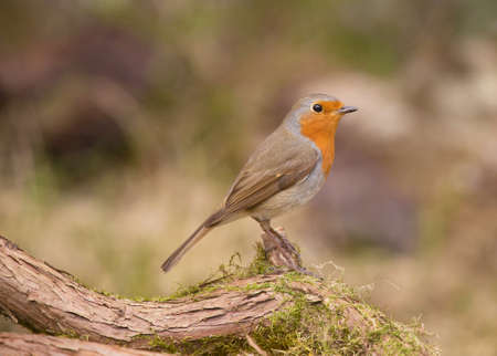 europeans: Robin, A sweet and very popular little bird. (erithacus rubecula).