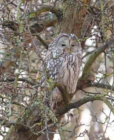 Ural owl (Strix uralensis)  Stock Photo