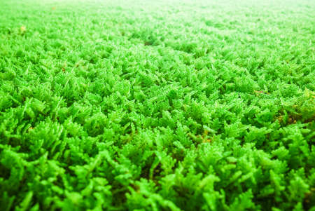 hydrophyte: Algae used for water purification