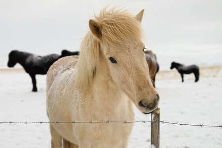 icelandic: Icelandic horse in tough winter conditions