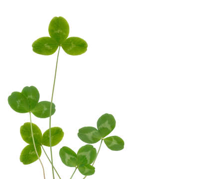 clover leaves on a white background photo
