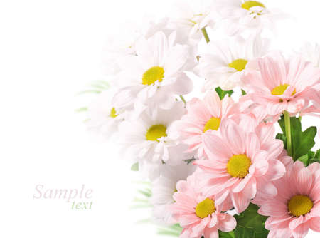 Daisies flowers on white background photo