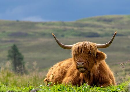 Highland Cow with red hair and horns lying in a field in Scotland with hills in the background. Zdjęcie Seryjne
