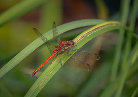 The Common darter is a red, narrow-bodied dragonfly that can be seen throughout summer and autumn.