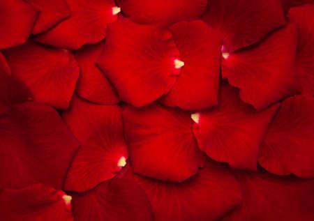 fondo rojo: Cierre para arriba - P�talos de rosa roja - fondo natural