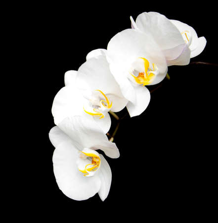 white orchids: White orchids isolated on a black background