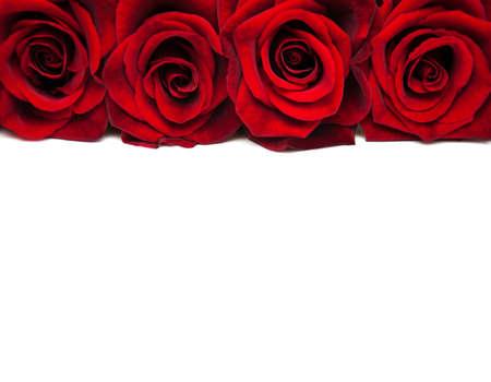 白地に新鮮な赤いバラ 写真素材