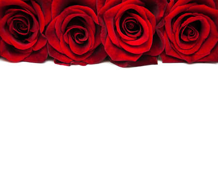 Fresh Red roses on a white background Imagens - 50208528