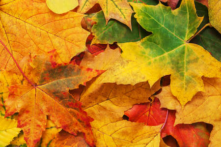 brigth: Colorful brigth  autumn leaves - nature background