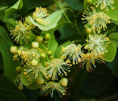 tilia cordata: Fresh linden flowers on the tree - nature background