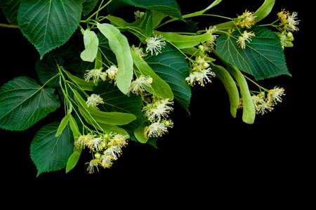 Linden flowers isolated on a black background
