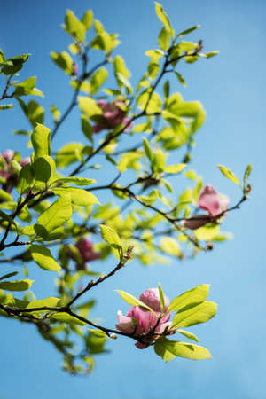Beautiful spring magnolia flowers, natural floral background