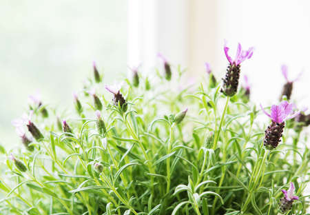 Purple Flower pot of Fresh Spanish lavender  Stock Photo