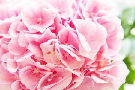 Pink flowers of hydrangea close-up. Natural hydrangea flowers 版權商用圖片