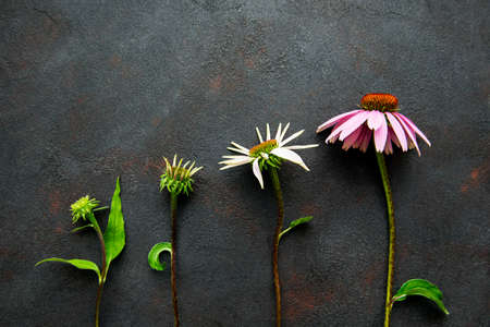 Different stages of growth of echinacea flower on a background of black concrete background