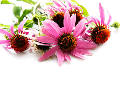Echinacea flower isolated on a white background