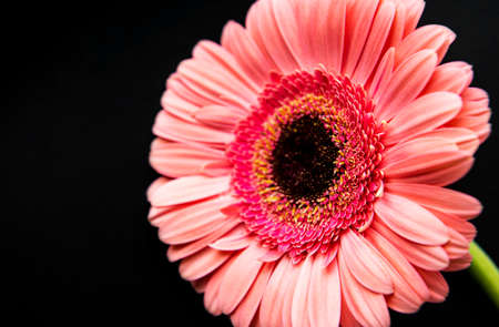Bright gerbera flower on a black concrete background. Frame of flowers, top view