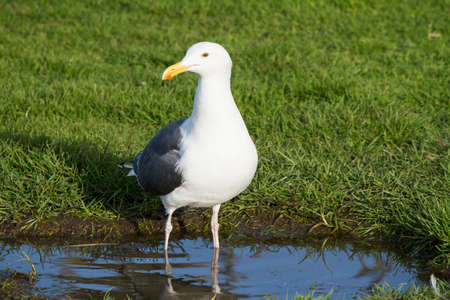 webbed feet: Seagull Wading