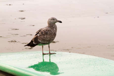 webbed feet: Curious sea gull standing on a surf board