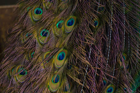 headress: Peacocks are such regal and beautiful birds  The array and depth of colors they display is amazing