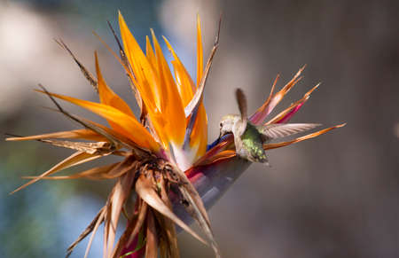 hum: Humming bird hovering and collecting nectar from a Bird of Paradise flower