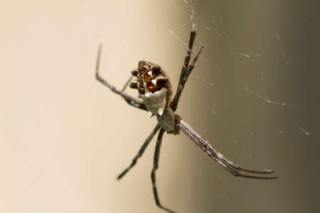 araneidae: Silver Backed spider in web waiting for insects to be caught