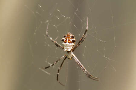 argiope: Silver Backed spider in web waiting for insects to be caught