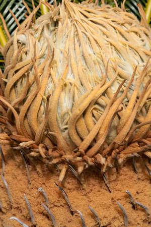 cycas: Sago Palm Cycas revoluta blooming crown in spring at the San Diego Botanical Gardens