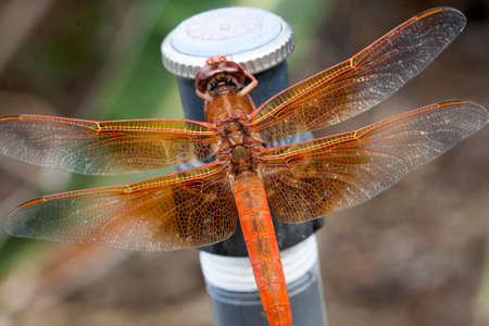 odonata: Orange dragonfly with transparent wings perched on a sprinkler head at a local garden