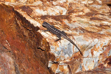 cold blooded: Small lizard sunning on rock at a local park