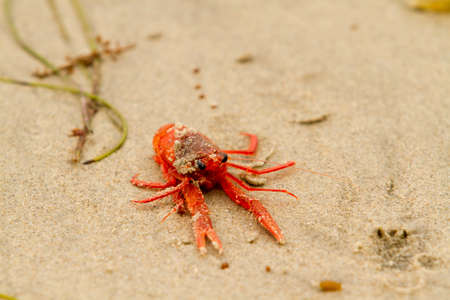 cangrejo: Los pequeños cangrejos de atún rojo varado en la costa de San Diego Foto de archivo