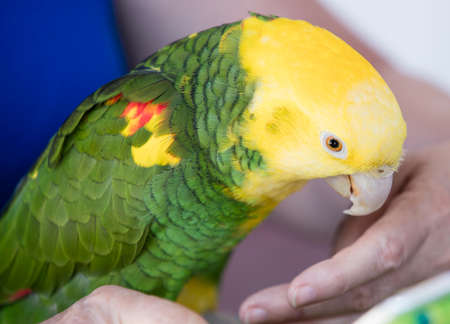 chatty: Green and yellow parrots at a community bird organization in Encinitas California