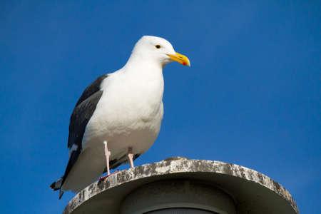 talons: Seagull resting at a coastal site in La Jolla, California