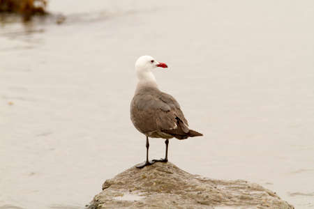 Seagull perched on rock surrounded by ocean water at Swamis Beach in San Diego California